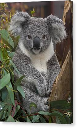 Koala Phascolarctos Cinereus Canvas Print by Zssd