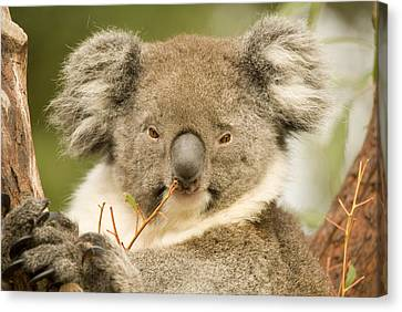 Koala Snack Canvas Print by Mike  Dawson
