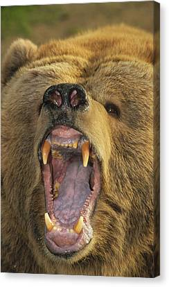 Kodiak Bear Ursus Arctos Middendorffi Canvas Print by Matthias Breiter