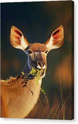 Kudu Portrait Eating Green Leaves Canvas Print by Johan Swanepoel