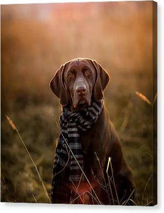 Cerman Pointer Canvas Print by Elena Kovalenko