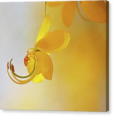 Laburnum Canvas Print by Ana Encinas