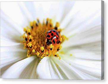 Lady Bug And Her Cosmo Canvas Print by Darren Fisher