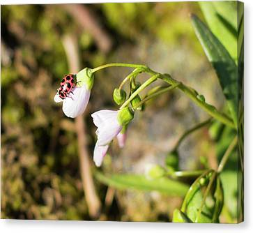Lady Bug Canvas Print by Bill Caldwell