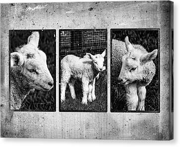 Lamb Triptych Canvas Print by Martina Fagan