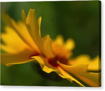 Lance Leaved Coreopsis Canvas Print by Juergen Roth