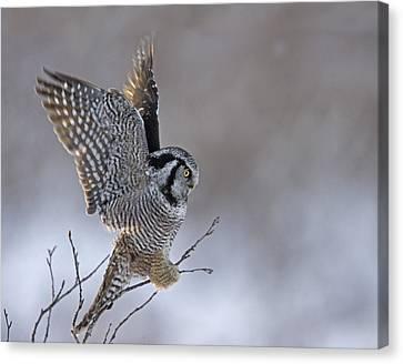 Landing Hawk Owl Canvas Print by Tim Grams