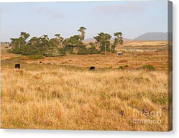 Landscape With Cows Grazing In The Field . 7d9957 Canvas Print by Wingsdomain Art and Photography