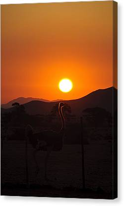 Landscapes - Ostrich Sundown Canvas Print by Andy-Kim Moeller