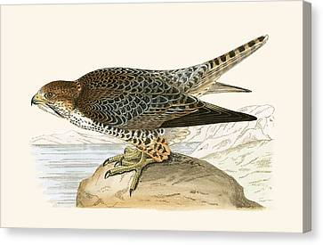 Lanner Falcon Canvas Print by English School