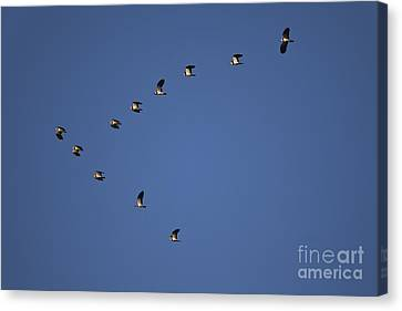 Lapwing Flock Canvas Print by Per-Olov Eriksson