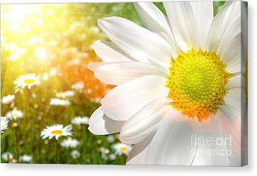 Large Daisy In A Sunlit Field Of Flowers Canvas Print by Sandra Cunningham