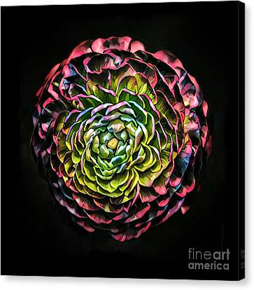 Large Pink Flower Against Black Background Canvas Print by Amy Cicconi