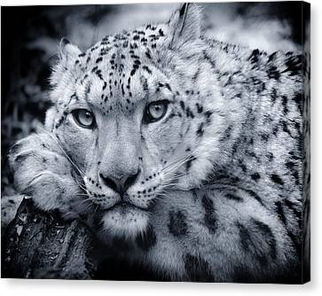 Large Snow Leopard Portrait Canvas Print by Chris Boulton