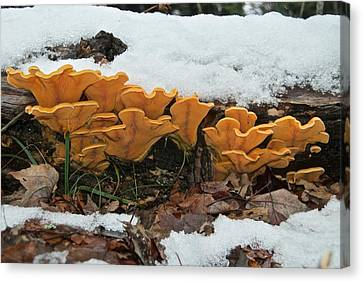 Last Mushrooms Of The Seasons Canvas Print by Michael Peychich
