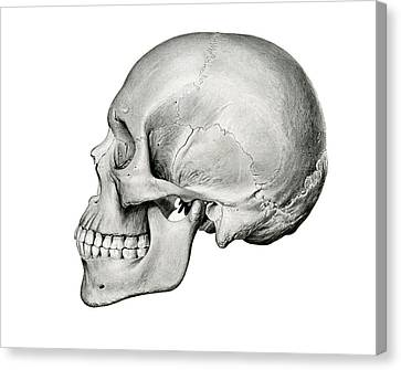 Lateral View Of Human Skull Canvas Print by German School