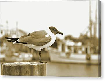 Laughing Gull Canvas Print by A R Williams