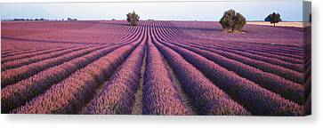 Lavender Field, Fragrant Flowers Canvas Print by Panoramic Images
