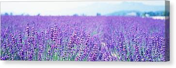 Lavender Field Japan Canvas Print by Panoramic Images