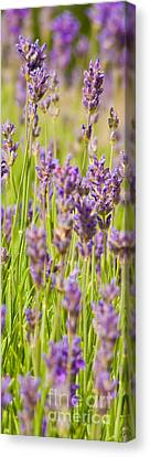 Lavender Field Canvas Print by John Basford