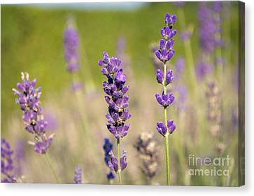 Lavender Flowers Canvas Print by Sinisa CIGLENECKI