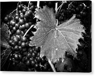 Leaf And Grapes In Black And White Canvas Print by Greg Mimbs