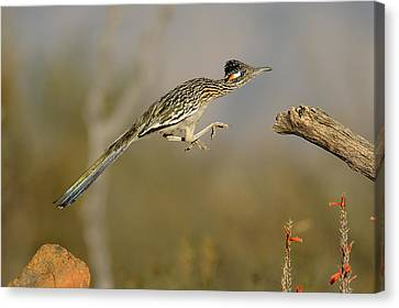 Leaping Roadrunner Canvas Print by Scott  Linstead