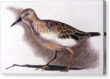 Least Sandpiper Canvas Print by Susan Conner