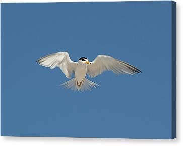 Least Tern 2 Canvas Print by Kenneth Albin
