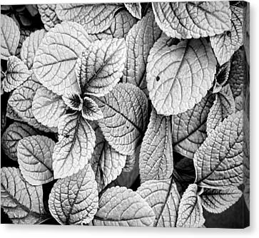 Leaves Black And White - Nature Photography Canvas Print by Ann Powell
