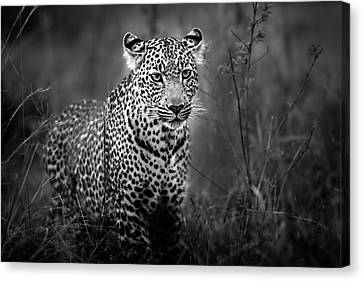 Leopard Male Looking For Food In Masai Mara Canvas Print by Maggy Meyer