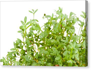 Lepidium Sativum Or Cress Sprouts Grow On White  Canvas Print by Arletta Cwalina