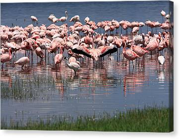 Lesser Flamingo, Lake Nakuru, Kenya Canvas Print by Aidan Moran