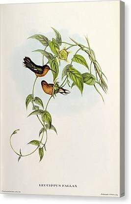 Leucippus Fallax Canvas Print by John Gould