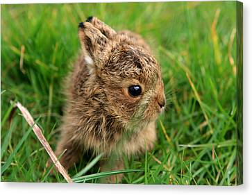 Leveret In The Grass Canvas Print by Aidan Moran