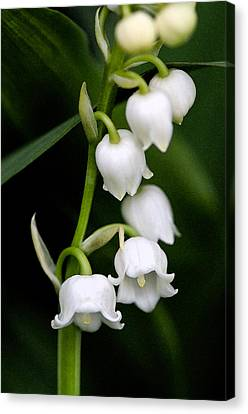 Lily Of The Valley Canvas Print by Bobbi Smith