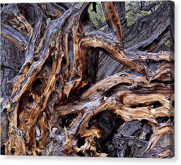 Limber Pine Roots Canvas Print by Leland D Howard