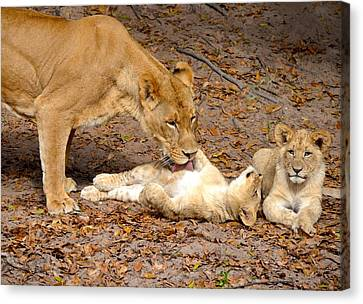 Lion Bath Time Canvas Print by Richard Bryce and Family