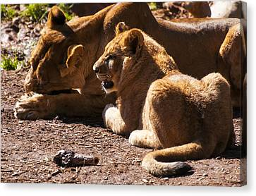 Lion Cub With Lioness Canvas Print by Chris Flees