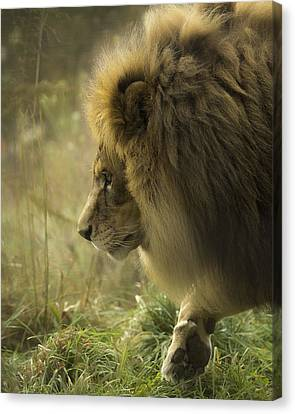 Lion In Soft Light Canvas Print by Ron  McGinnis