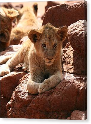 Lion On A Rock Canvas Print by Benjamin Mitchell