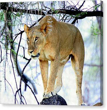 Lioness - Ready To Pounce Canvas Print by Nancy D Hall