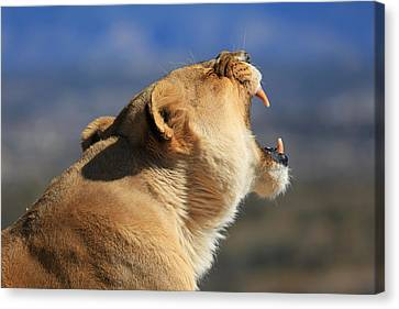 Lioness - Akina Canvas Print by Donna Kennedy