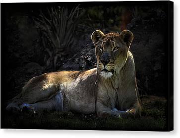 Lioness Canvas Print by Saija  Lehtonen