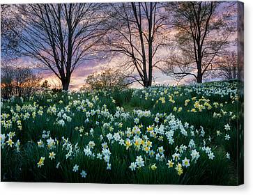 Litchfield Connecticut Daffodils Canvas Print by Bill Wakeley
