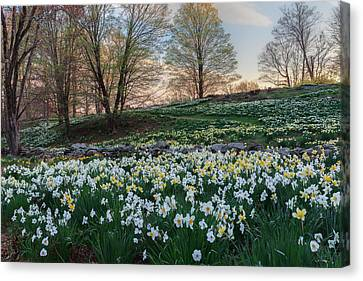 Litchfield Daffodils Flowering Landscape Canvas Print by Bill Wakeley
