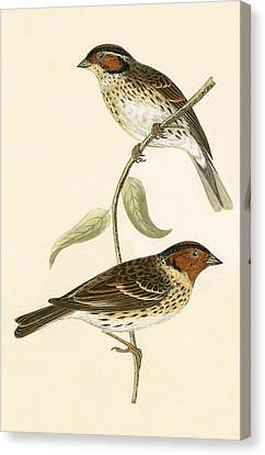 Little Bunting Canvas Print by English School