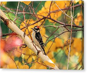 Little Downy In Autumn Canvas Print by Donna Kennedy