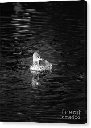 Little Grebe Canvas Print by Michael McStamp