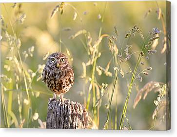 Little Owl Big World Canvas Print by Roeselien Raimond